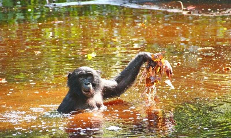 倭黑猩猩的水生绿色饮食可能是人类进化的线索