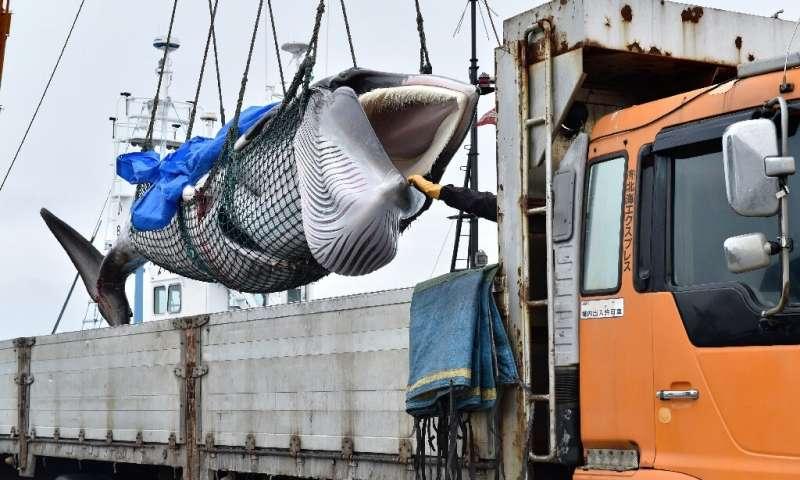 日本捕鲸者用清酒庆祝带上岸上捕获物