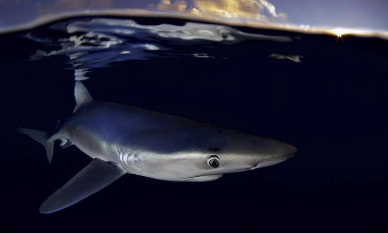 绿色和平组织对北大西洋鲨鱼捕鱼发出警报