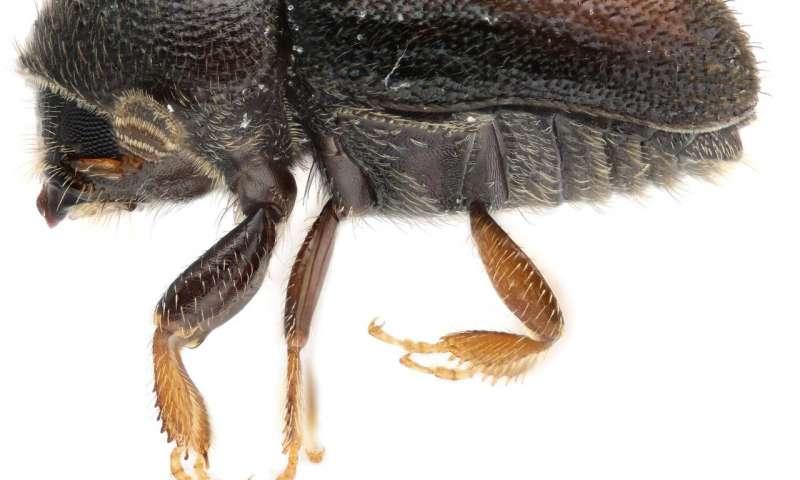 科学家确定了新种枇杷甲虫