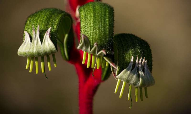 """澳大利亚植物""""袋鼠爪子""""可能为了解生物多样性提供线索"""