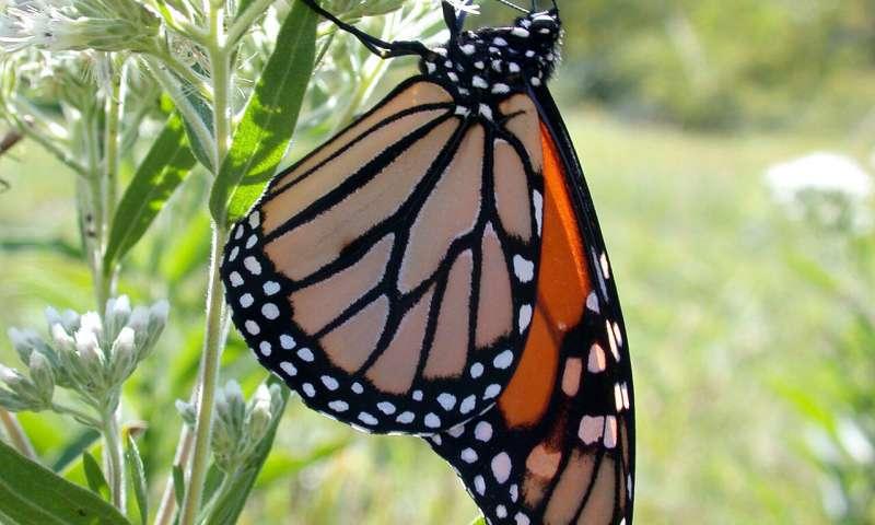 在农田附近君主蝴蝶的乳草中发现农药