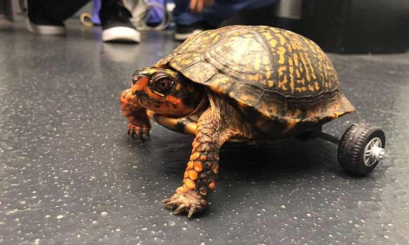 路易斯安那州立大学的兽医让佩德罗移动了乌龟