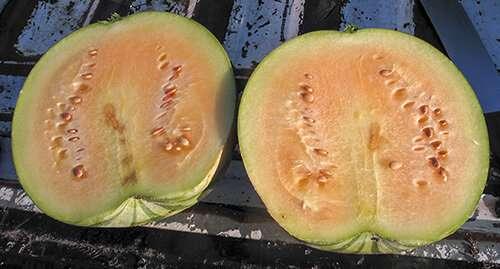 新型西瓜砧木可以摧毁疾病和害虫