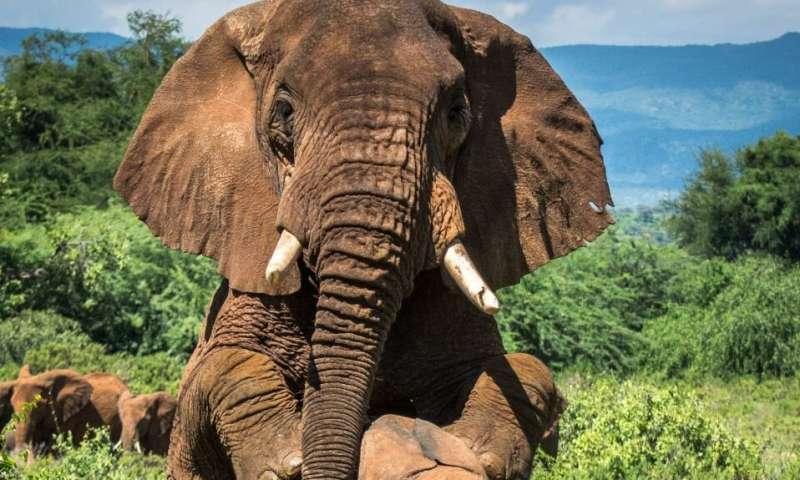 非洲公牛大象交配秘密年龄越大寻求的就越难