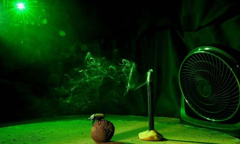 当太阳高时粪甲虫使用风指南针