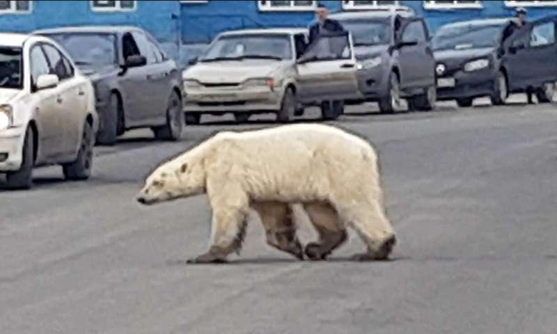在俄罗斯发现的瘦弱的北极熊被采取了治疗
