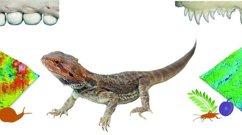 牙科微绒提供了关于lepidosauria的饮食习惯的线索