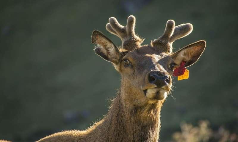 反刍动物基因组计划揭示了鹿的秘密生命