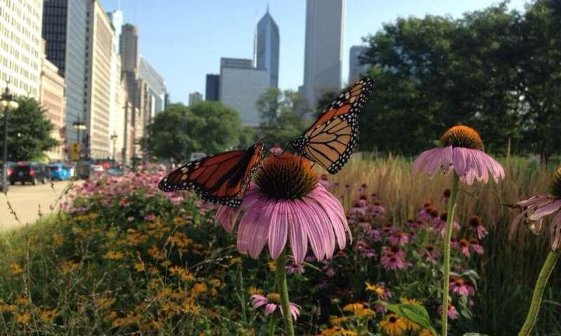 城市是拯救帝王蝶的关键