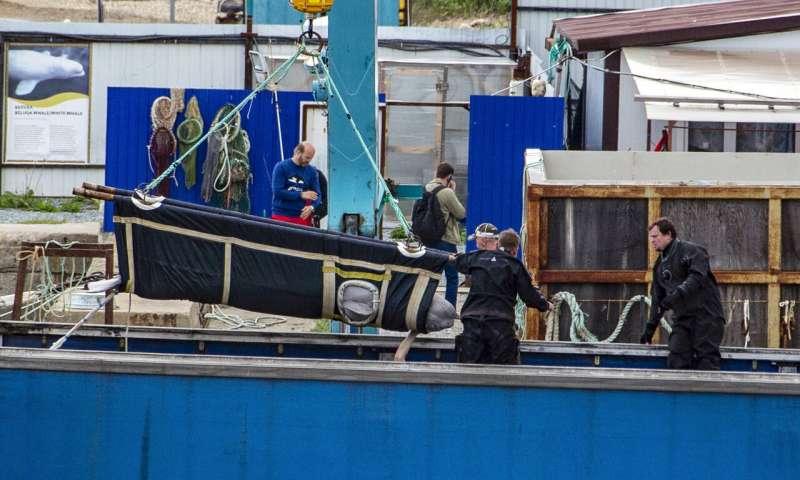 俄罗斯释放100只非法捕获的鲸鱼