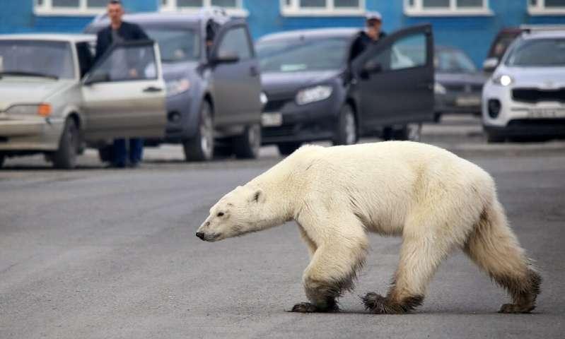 俄罗斯人捕获饥饿的北极熊漫游北极城市