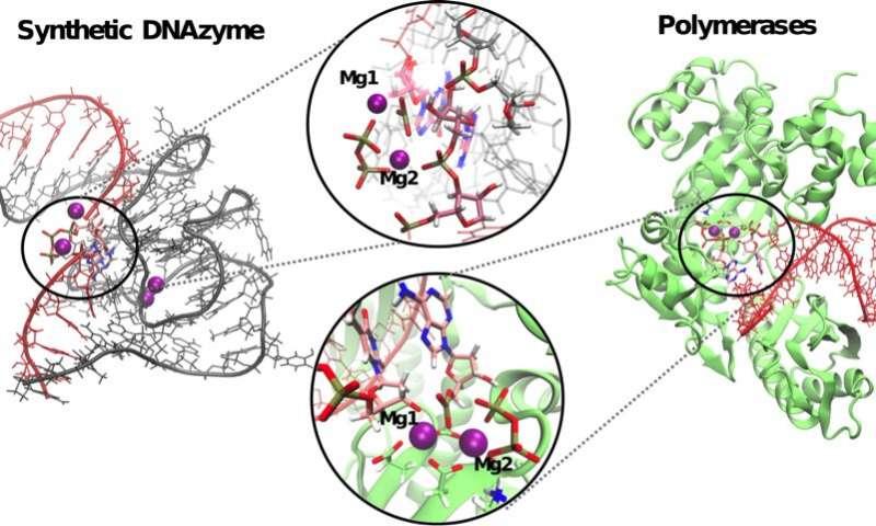 一项研究描述了DNA酶的反应机制