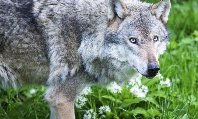 狼的归来出生在荷兰的野生幼崽