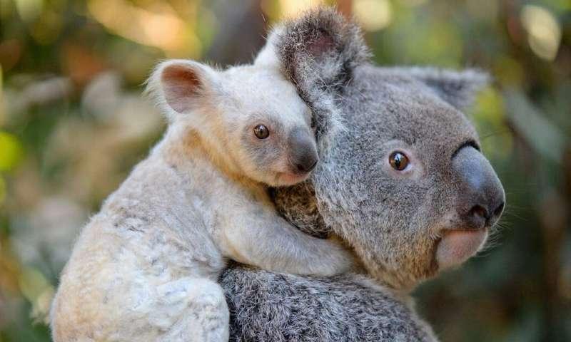 新研究可能导致对濒危有袋动物进行妊娠试验