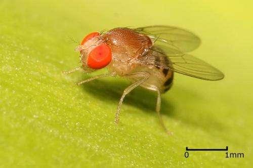 计算机模型阐明了果蝇发育的关键时刻