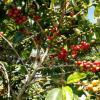 为什么气候变化意味着重新思考咖啡和可可生产系统