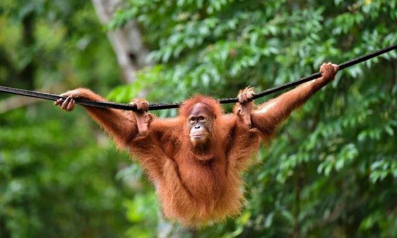 印度尼西亚宠物猩猩重新回到野外