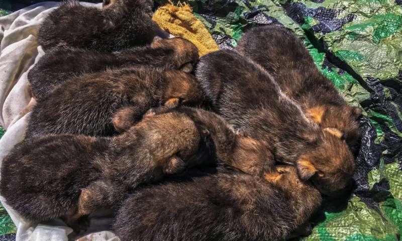 小狗养育为野生墨西哥狼提供了基因增强