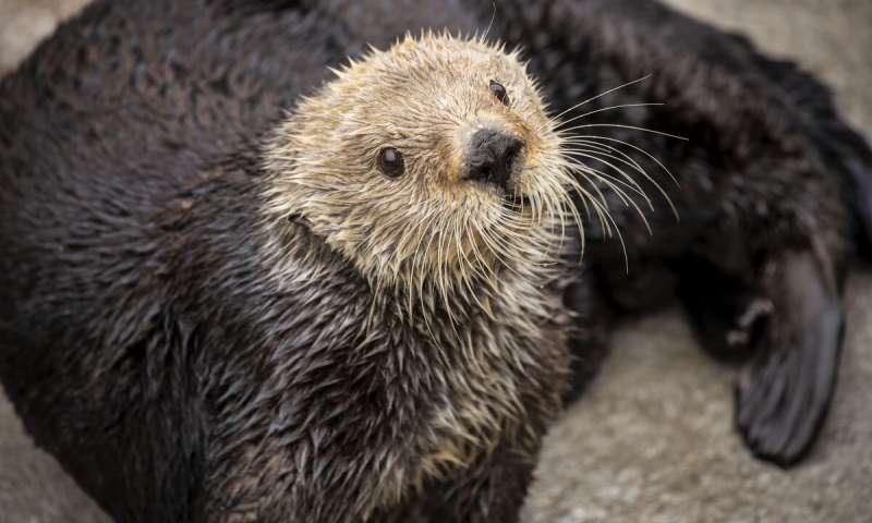 生物学家报告说海獭的遗传多样性与其他受威胁物种一样