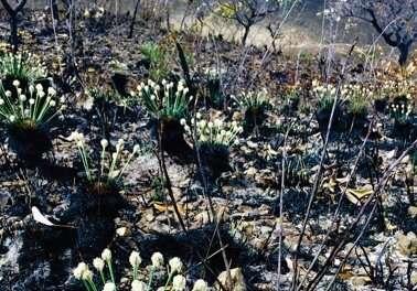 火灾发生后一天确定了在巴西稀树草原上开花的植物