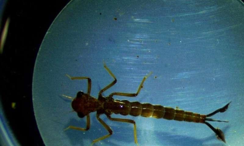 有些蚊子实际上受益于杀虫剂的应用
