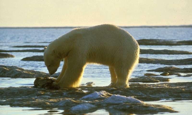 研究揭示了北极熊进化中生态适应的新基因组根源