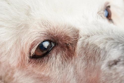 狗已经进化出眼睛周围的新肌肉