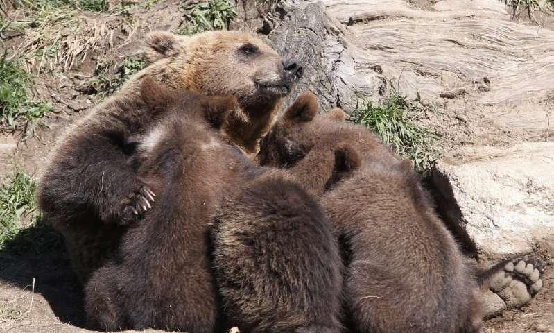 被拯救的小熊在法国西南部失踪