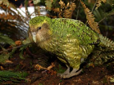 新西兰保护部的使命是拯救kakapo